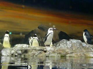 Penguin_035