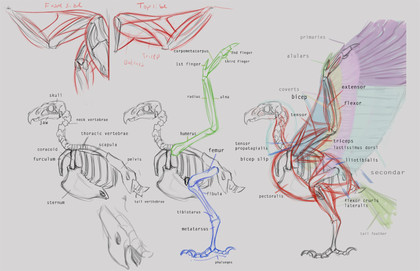 Eagle_anatomy