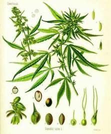 Cannabis_1887